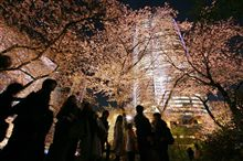 roppongi sakura nights
