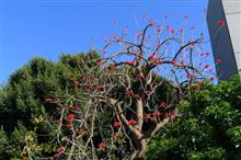 Naked Coral Tree