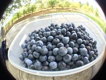 今年最後のBlueberry picking