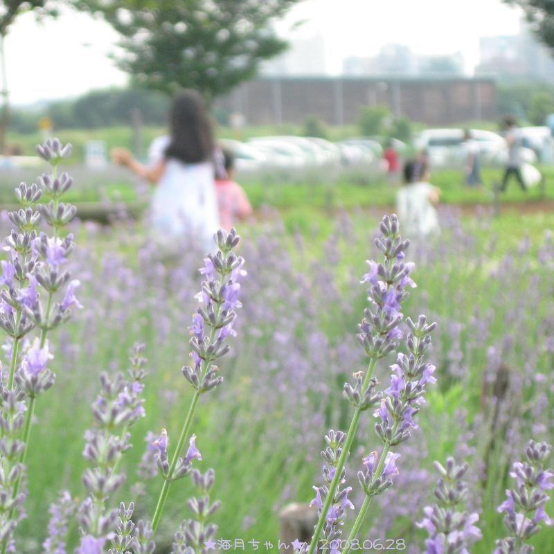 おすすめスポット ★朝霞市★ ラベンダー畑
