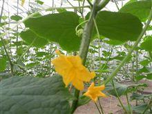 胡瓜の雌花