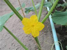 胡瓜の雄花