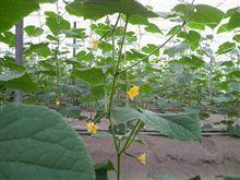 胡瓜の雌花はこんな感じについてます!