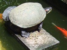 巨大にそだった緑亀