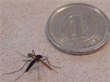 我が家の害虫~ヤブ蚊編