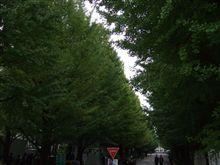 慶應の銀杏は、まだまだ早い