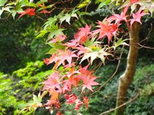 箕面の紅葉はまだ緑でした。