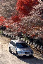 1年で2度咲く『四季桜』