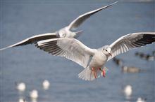 琵琶湖に水鳥が来てます^^