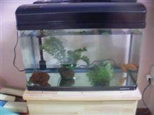 保育園の水槽の金魚 復活!