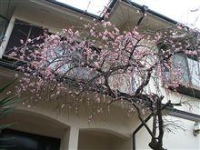 ウチの梅が咲いてます