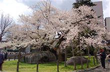 東北桜巡り