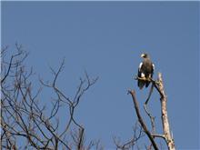 琵琶湖でオオワシを見る!