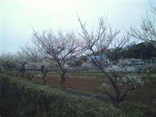 梅は咲いたか…