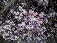 ひとあし早い 寒彼桜