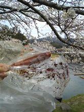 桜がいいよ。(^_^)/