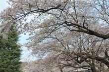 桜 五分咲き?
