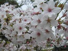 高知城、桜満開。