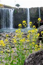 菜の花と原尻の滝