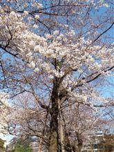 桜 8分咲き?
