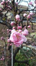 桜はまだだけれど