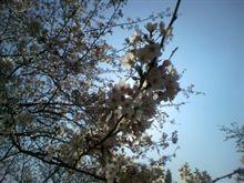 入学式×桜×快晴