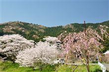 近くの桜2009