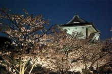 金沢夜桜見物