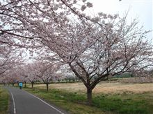 桜見どころ