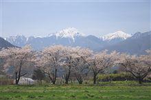 安曇野の桜、満開