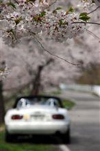 桜 (東公園)