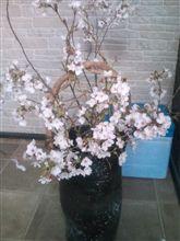桜も終わり・・・