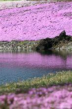 本栖湖 芝桜