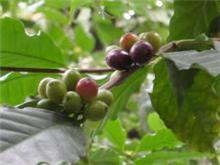 アイス・コーヒーの発祥の国は・・・ 日本・・・。