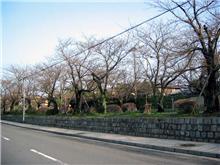 銀閣寺の桜の開花情報写真3月29日