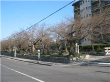 銀閣寺の桜の開花情報写真3月30日