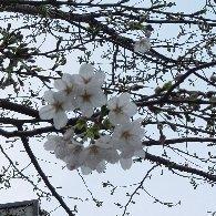 家の近くの桜♪
