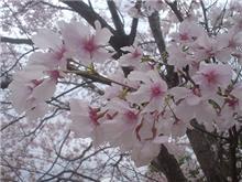 桜、種類が違う?