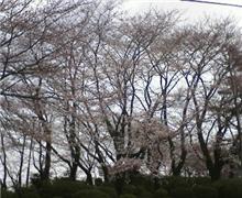 平日の花見