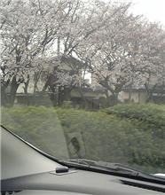 今日の通勤途中の桜