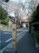 来桜 さくら坂の桜が見頃を迎えようとしています。。