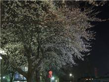 所沢にて夜桜