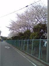 こんな近くに満開の桜が・・・☆