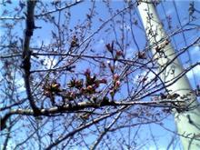 倉敷桜だより 3.30