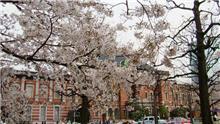東京駅と桜(その後)
