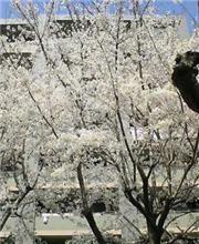 櫻の木下で