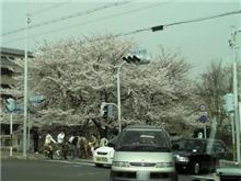 京都花見ドライブ