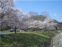 広島お花見ミミミ