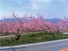 桃の花見に行ってきた。