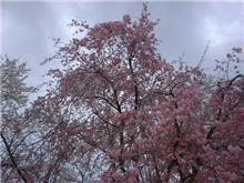 まだ桜が満開